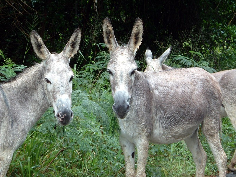 Donkeys on St. John Island