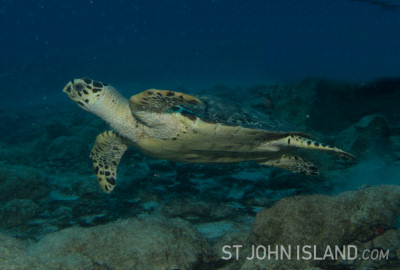 Sea Turtle in St. John Island